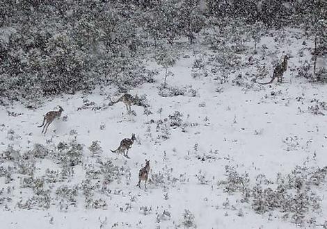 kangaroos_at_springhill_wideweb__470x3300.jpg