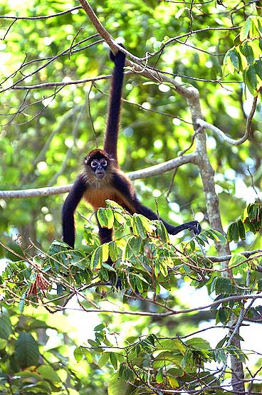 panama-spider-monkey-3.jpg